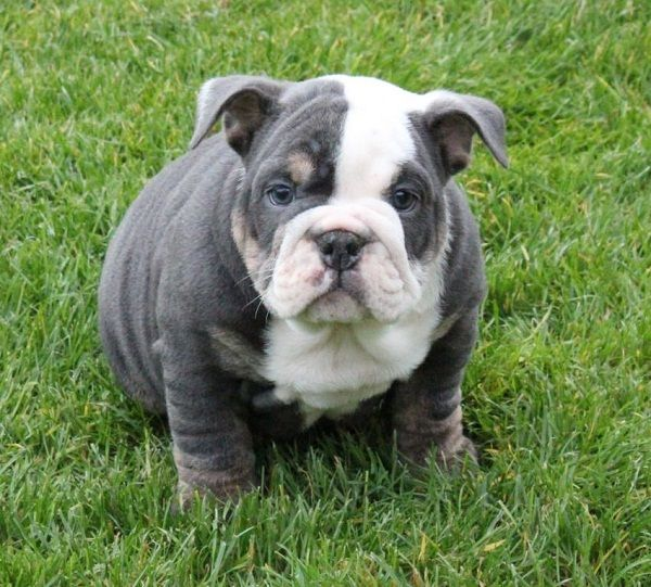 Grey And White English Bulldog Puppies | www.pixshark.com ...