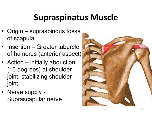 supraspinatus origin and insertion - Google Search | Muscle Origins ...