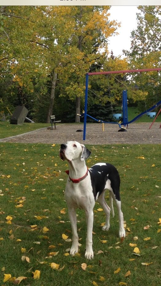 Harlequin Great Dane Lucille Ball Mesmerized By Something