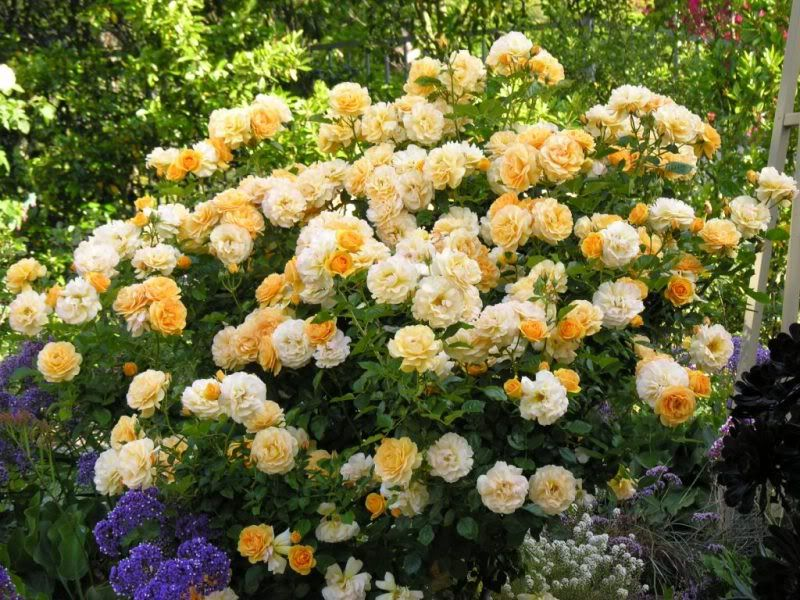 Julia Child Roses On My Wish List I Never Thought Would Grow But This Makes Me Want To Find A Sunny Spot