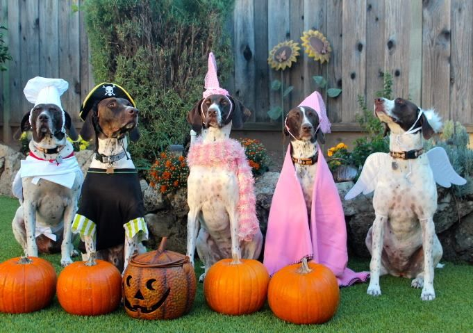 German Short Hair Pointer Halloween Party.