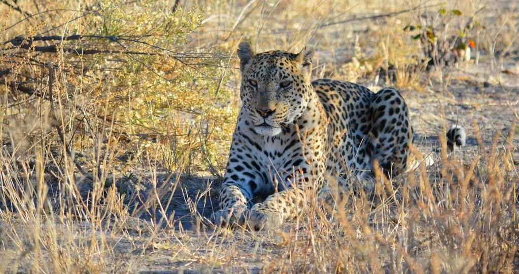 Magnificent leopard near Gomoti Camp airstrip #MoremiGameReserve #OkavangoDelta #Explorations https://www.facebook.com/Wilderness.friends/posts/932410946819221…