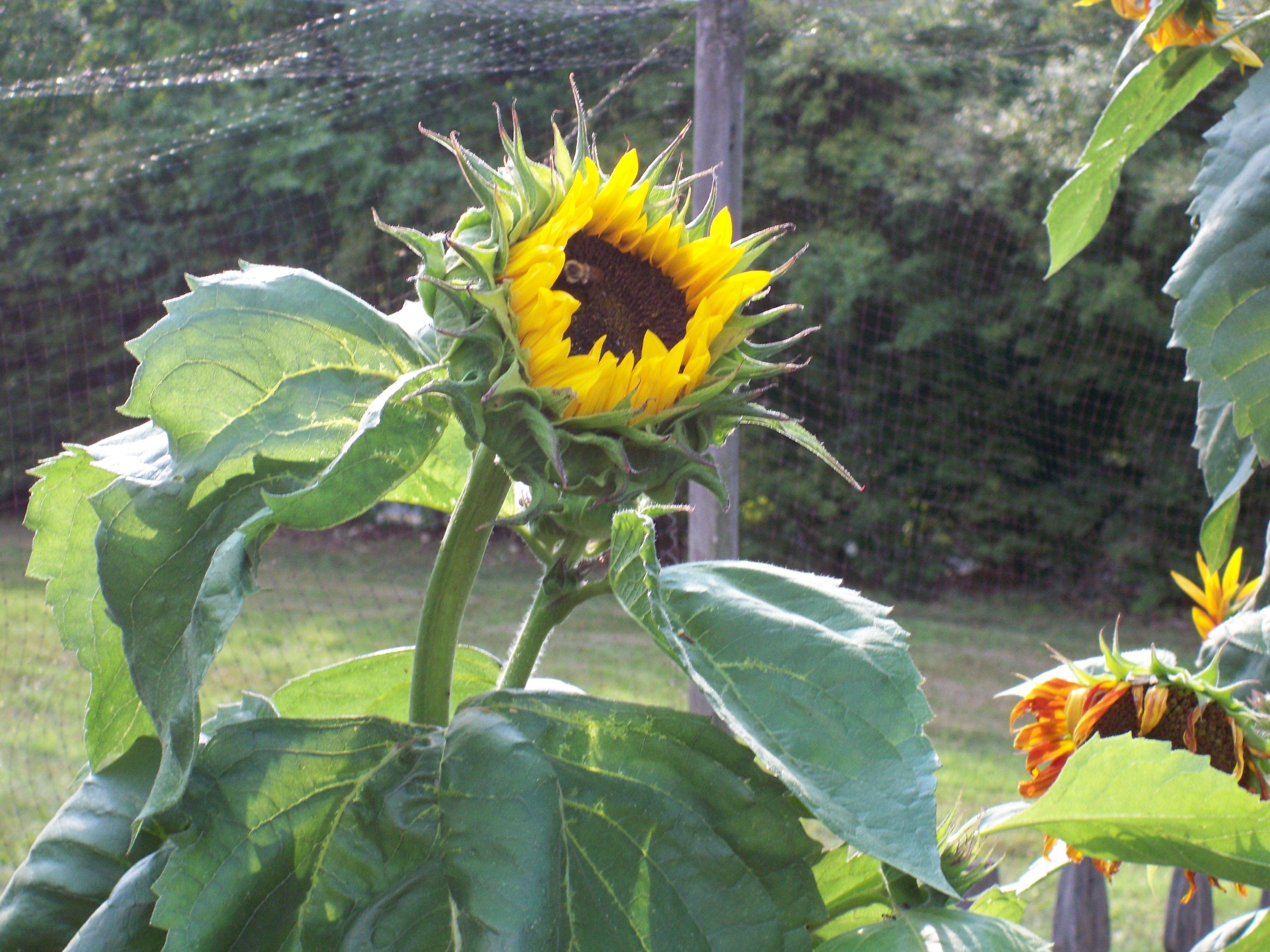 Young Sunflower Growing Tall How To Grow Taller Summer Garden Plants