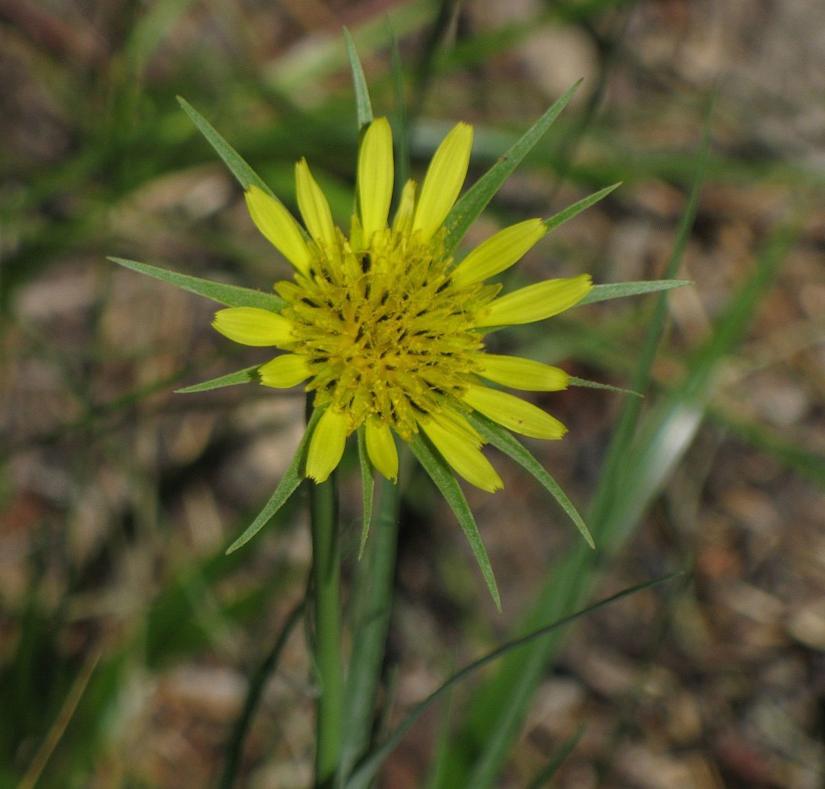 Tragopogon Dubius Wikipedia With Images Native Plants