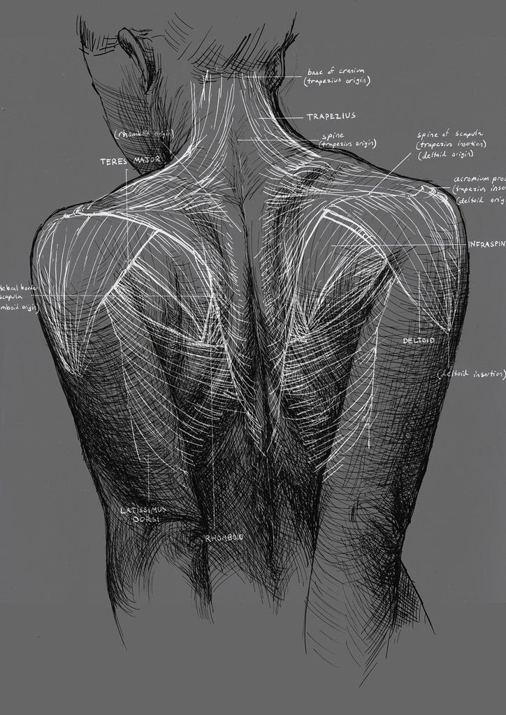 Female back muscles drawing | Retouch Body Study & other | Pinterest