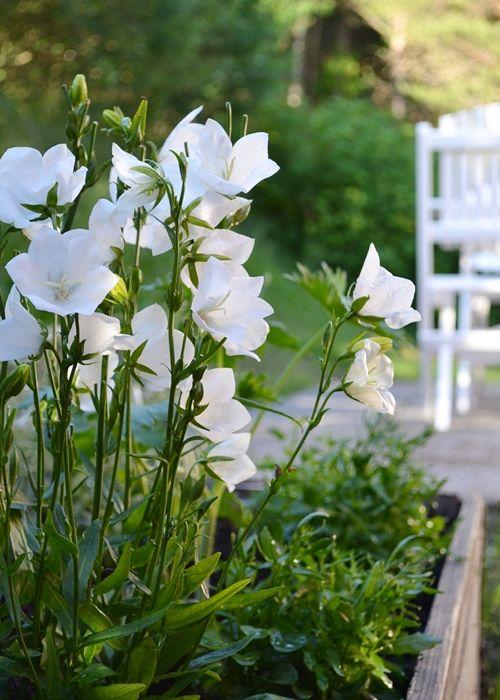 Knorkan platycodon grandiflorus albus ballon flower plant lust cut flower garden mightylinksfo