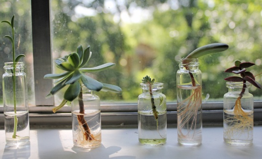 Growing Succulents In Water Succulents In Glass Plants In