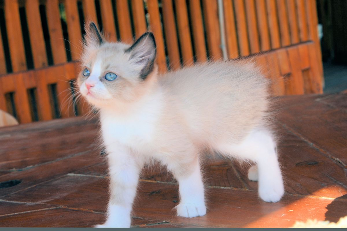 Polydactyl Manx & Poly Manx Kittens for Sale Fall 2015