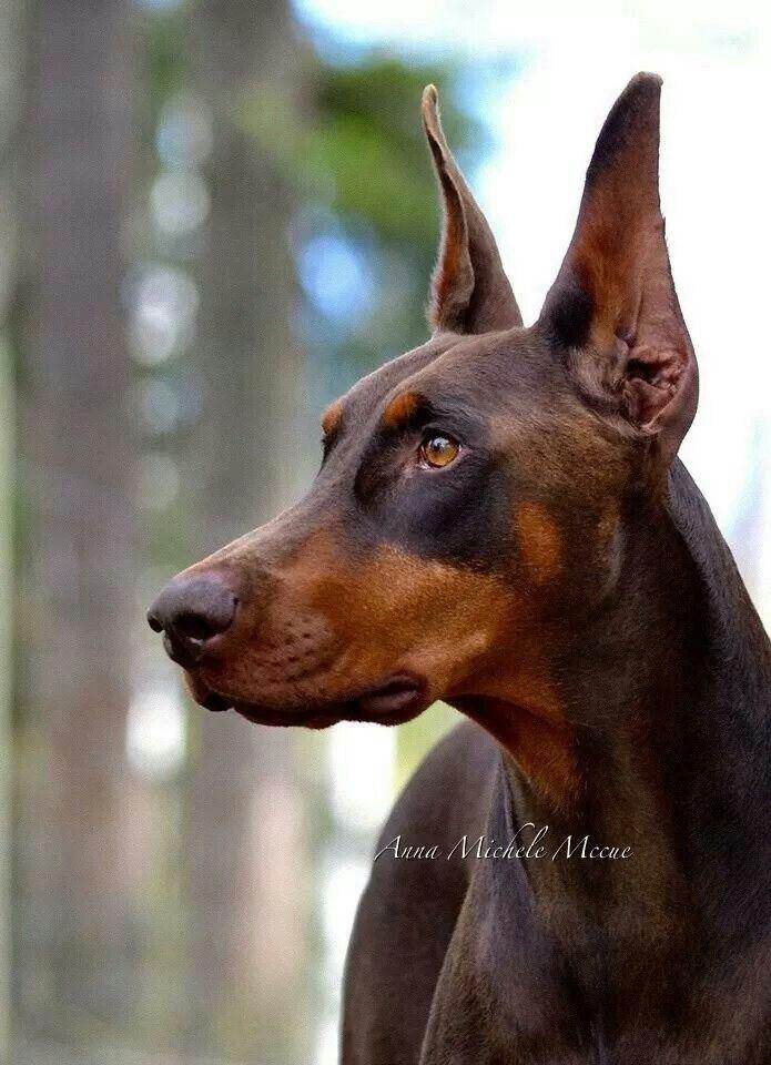Major Is The Best Doberman Pinscher Doberman Dogs Doberman