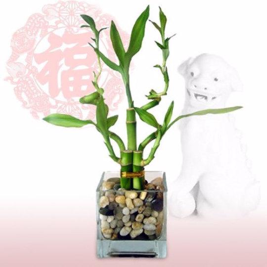 Little Cutie Lucky Bamboo Plant Arrangement Free Shipping