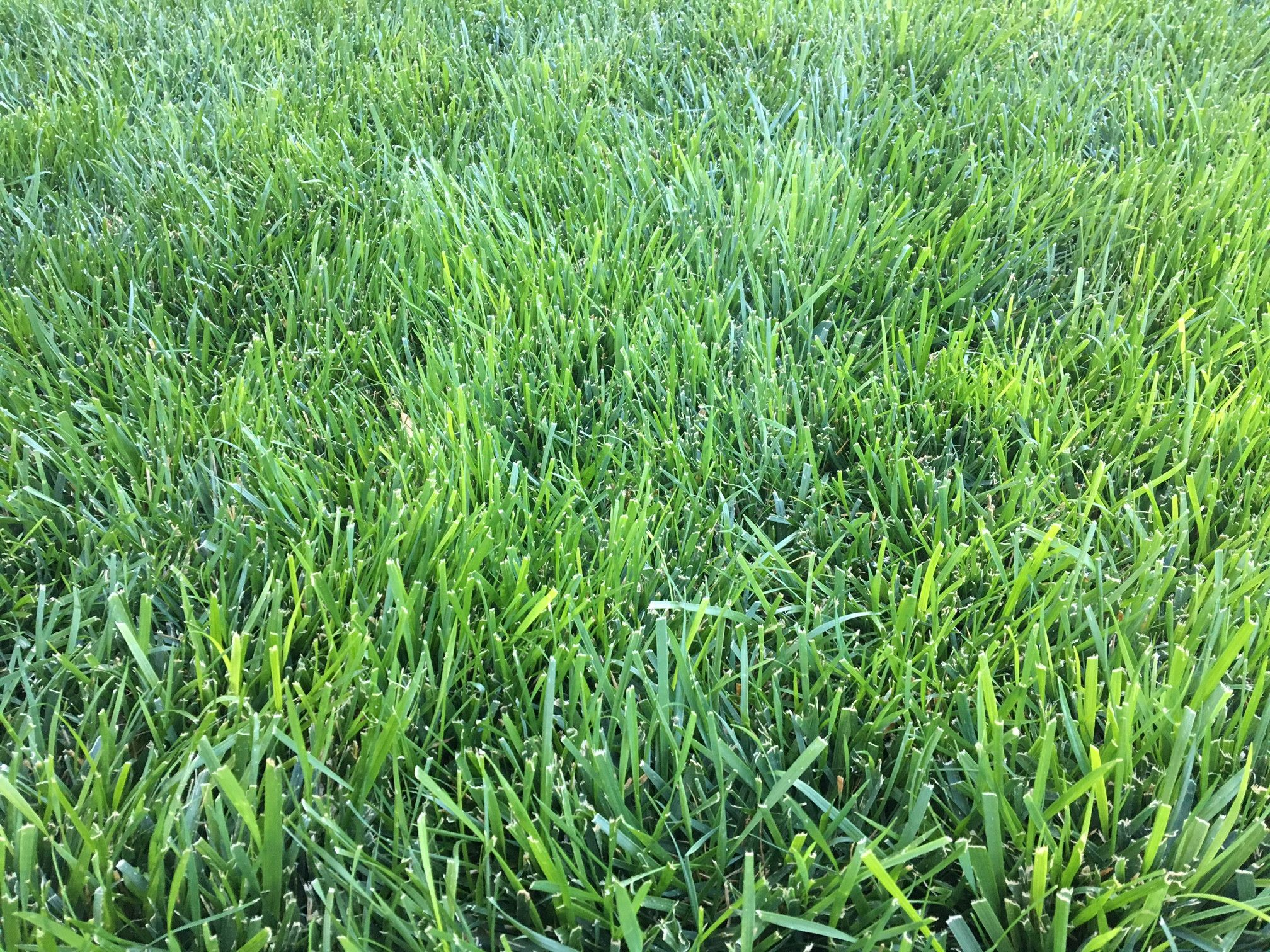 Triple Play Tall Fescue Seed Blend Tall Fescue Fescue Tall Fescue Lawn