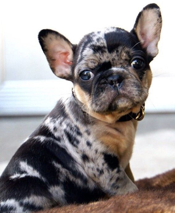 Merle Frenchie Not Recognizable By Any Official Kennel Club