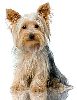 Potty Training Yorkie Yorkshire Terrier Puppies Yorkshire