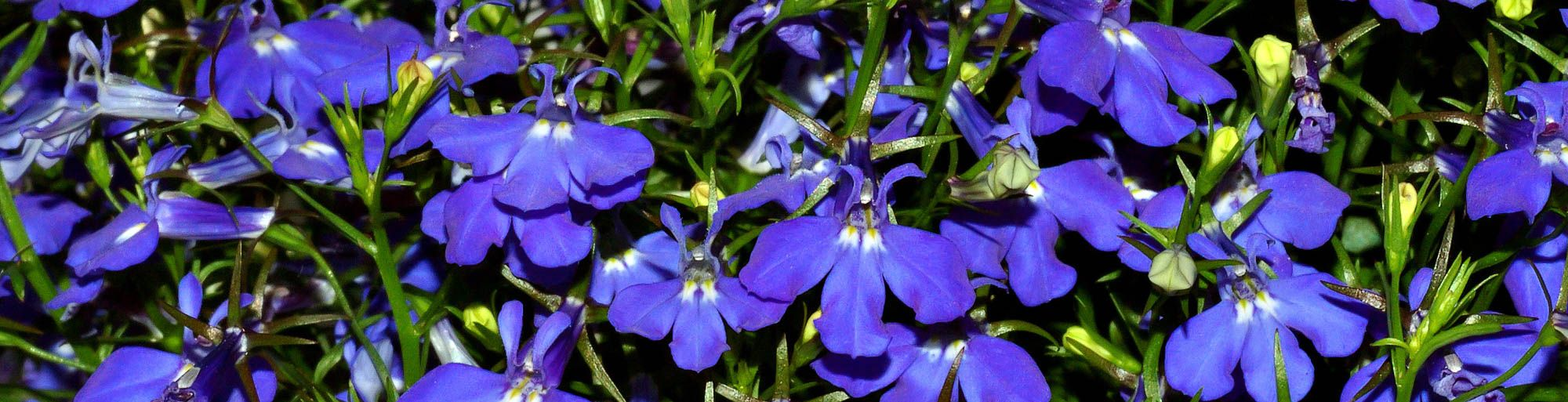 10 best blue plants for containers in the shade blue plants looking for some blue plants for containers in the shade this list of plants with beautiful blue flowers will help you find some you izmirmasajfo