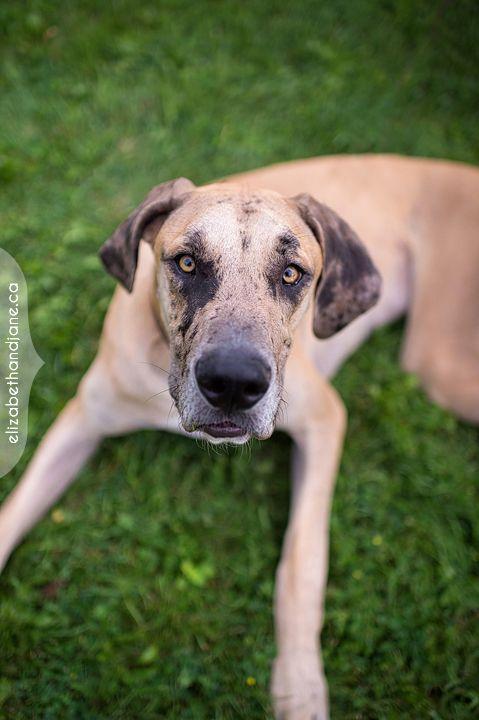 Great Danes Aren T Lap Dogs Lap Dogs Great Dane Rescue Great