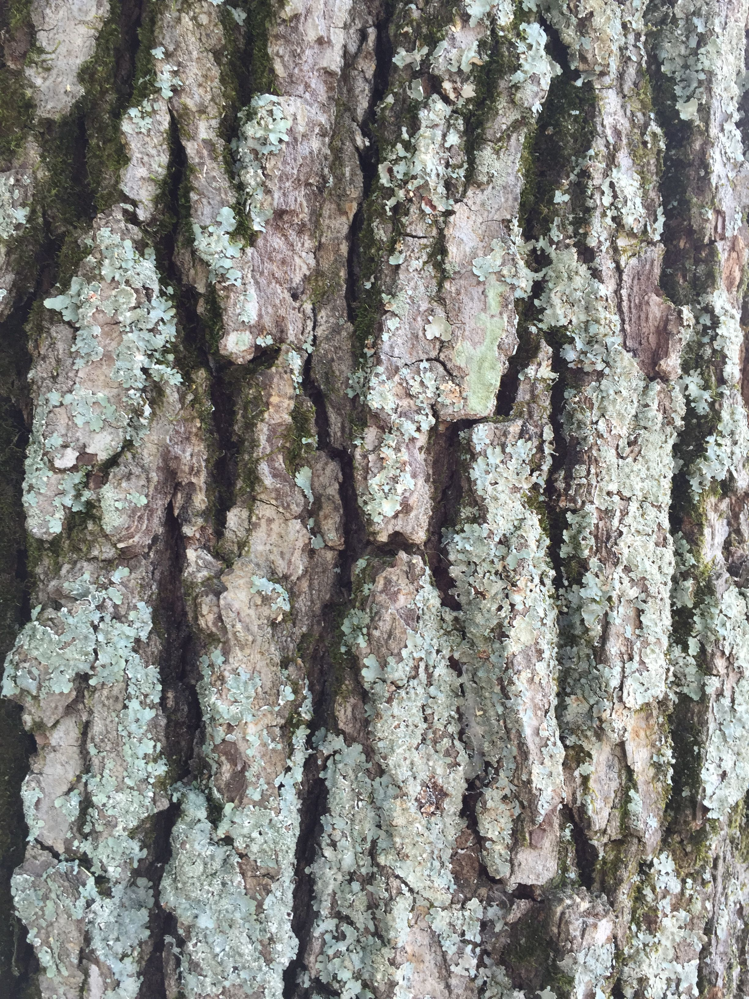 Oak Tree Bark Tree Textures Oak Tree Drawings Oak Tree Bark