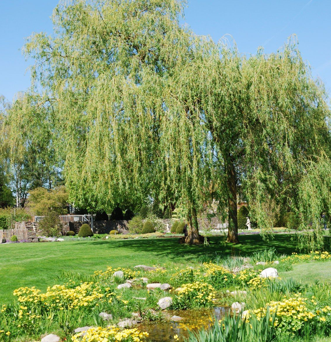 Weeping Willow Tree For Landscape Garden Types Weeping Willow