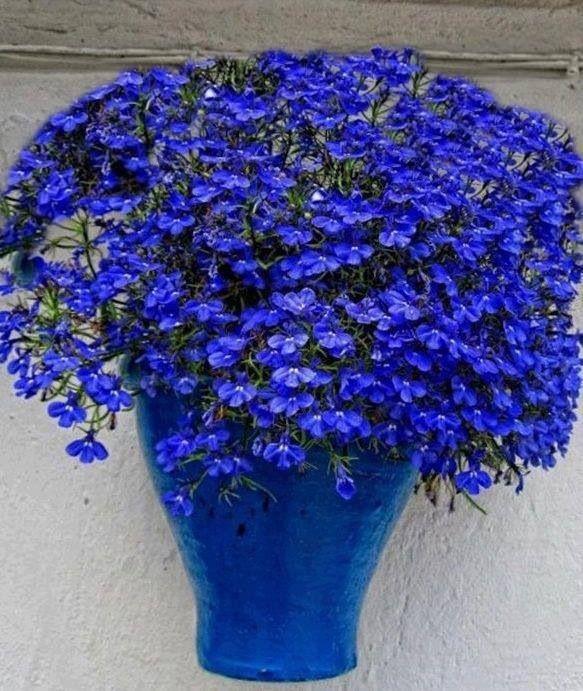 Beautiful Pot Of Very Blue Lobelia Flowers Blue Garden Flowers