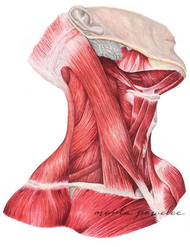 Pin de Esti-Ane\' Botha en Kuns<3 | Pinterest | Anatomía, Músculos y ...