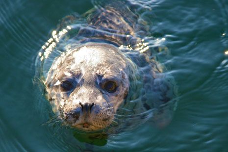 This little seal pup was rescued from our beach last year, was released back ...    coholodgeorcas.com