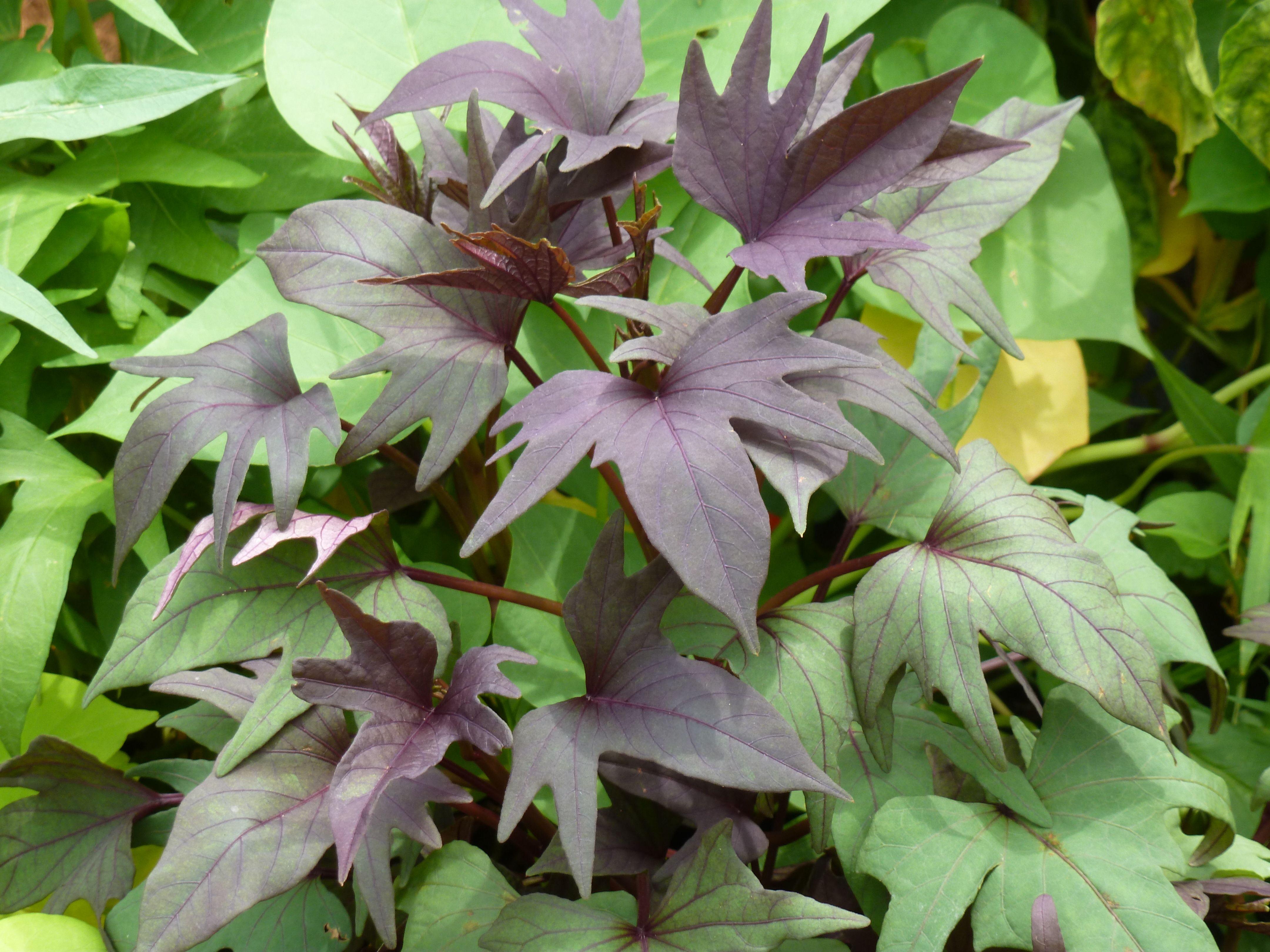Purple Sweet Potato Leaves Purple Sweet Potatoes Sweet Potato Leaves Sweet Potato