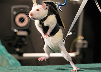 A Previously Paralyzed Rat Rat In A Walking Or Running Gait Restoring Voluntary Control Of Locomotion After Paral Spinal Cord Injury Brain Help Spinal Cord