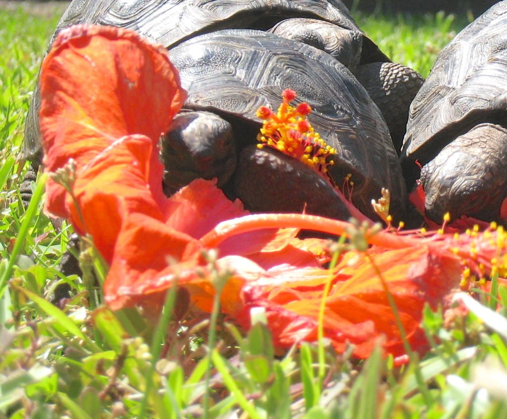 Tortoise ' enjoying a colorful lunch.