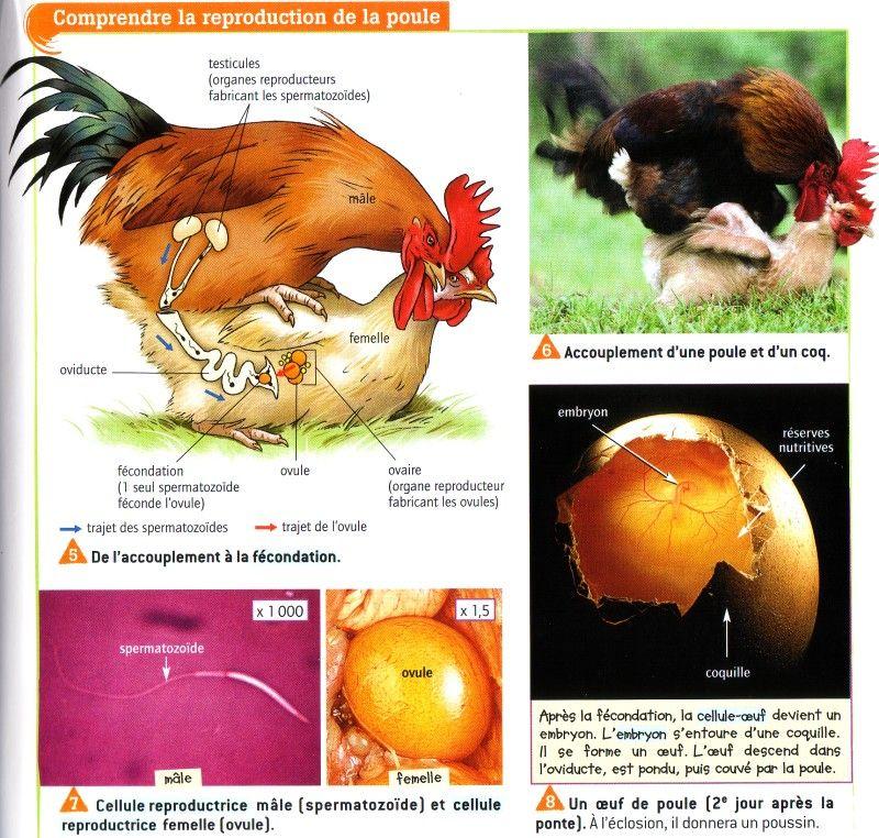 Pingl par patricia sur levage poussins pinterest poule elevage poussin et poussins - A quelle age pond une poule ...