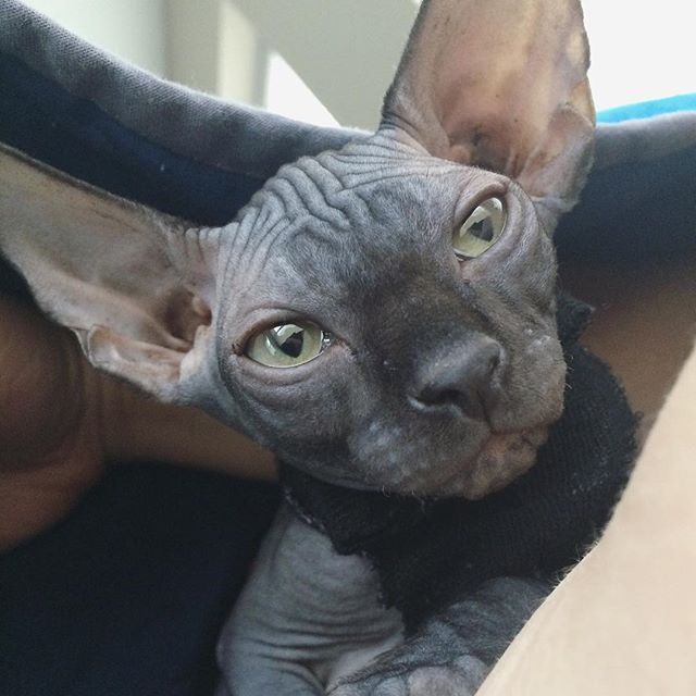 15 Reasons To Love Sphynx Cats Sphynx Cat Pets Sphynx
