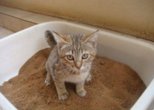 6 conseils pour apprendre votre chat faire ses besoins dans la liti re animaux insectes. Black Bedroom Furniture Sets. Home Design Ideas
