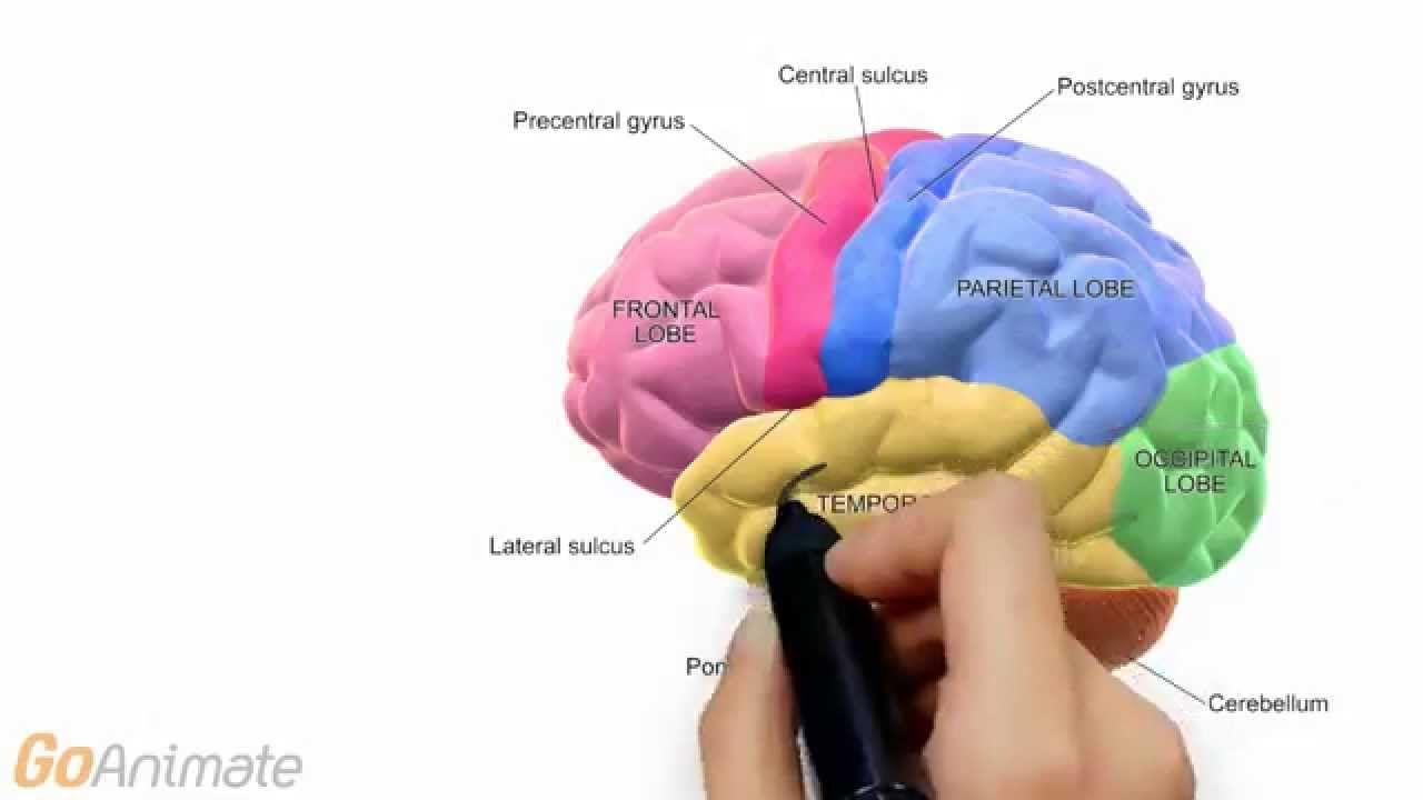 Anatomy and Physiology: Central Nervous System: Brain Anatomy v2.0 ...