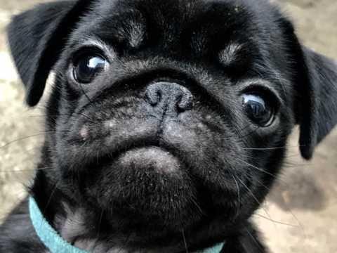 Reduced Kc Reg Perfect Pug Puppies Bristol Bristol