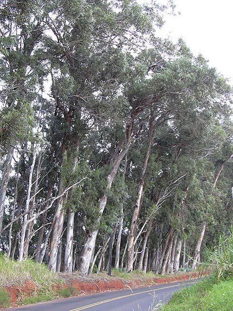 How The Eucalyptus Came To California Eucalyptus Tree Eucalyptus Oil Uses Eucalyptus