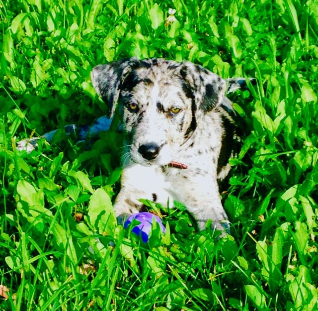 Catahoula Leopard Dog Crossed With A Border Collie Leopard Dog
