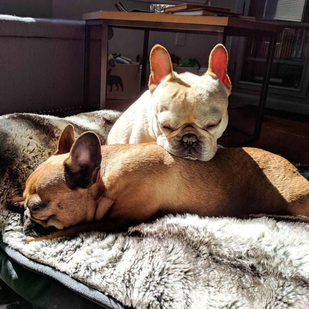 Elvis Coco Bean French Bulldogs Fawn French Bulldog Boxer