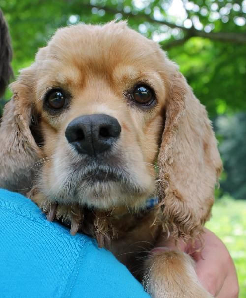 Meet Lynn 18921, a Petfinder adoptable Cocker Spaniel Dog