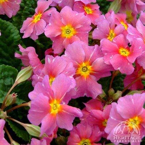 Primula 'Kinlough Beauty'  Polyantha Primrose