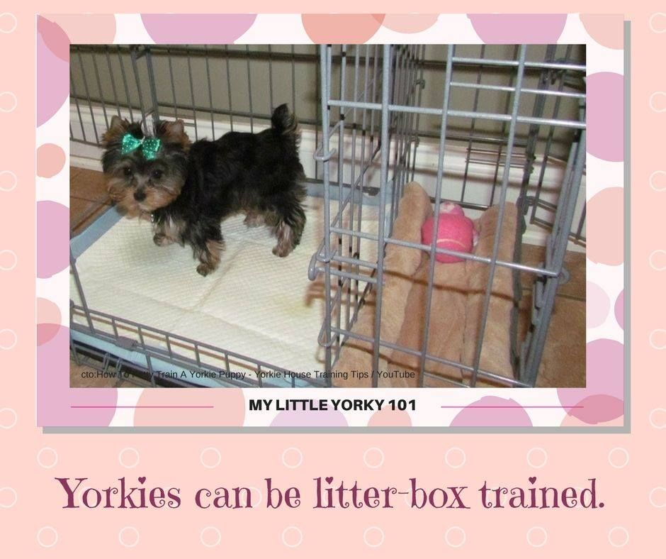 Yorkies Can Be Litter-box Trained! Source:http://www
