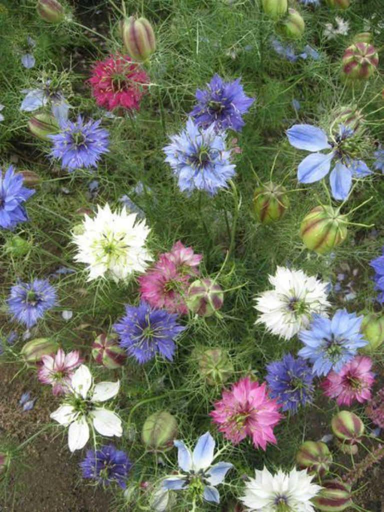 British Garden Flowers Flowergardening Planting Flowers Nigella Plants