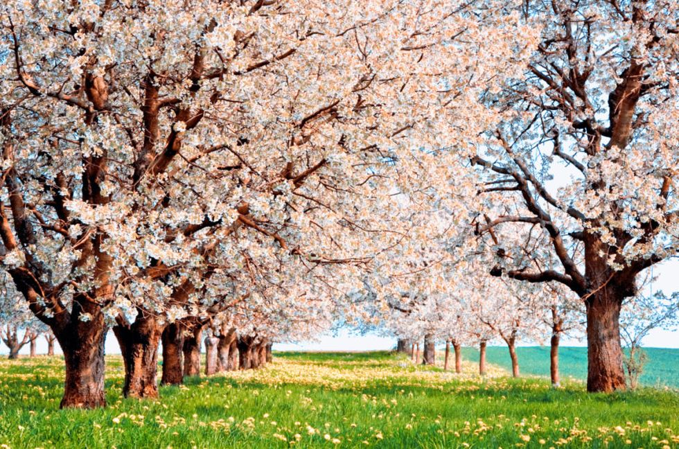 Cherry Blossom Tree Facts That You Definitely Never Knew Before Japanese Cherry Tree Cherry Blossom Tree Blossom Trees