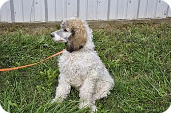 Hagerstown Md Poodle Standard Meet Samantha A Puppy For