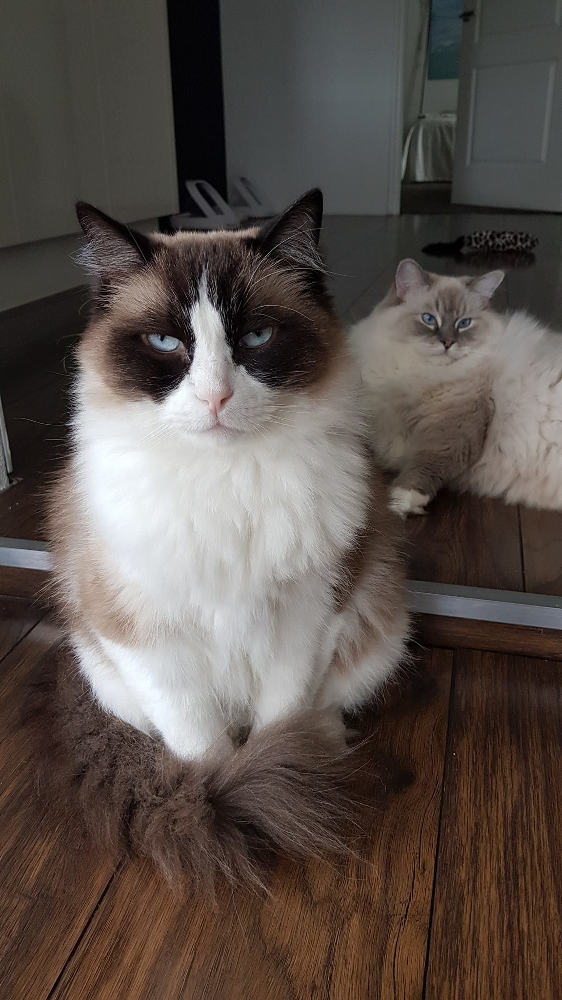 Pin By Dee Dee Reeves Click On Timo Toby Cute Cats Ragdoll Cat Cats And Kittens