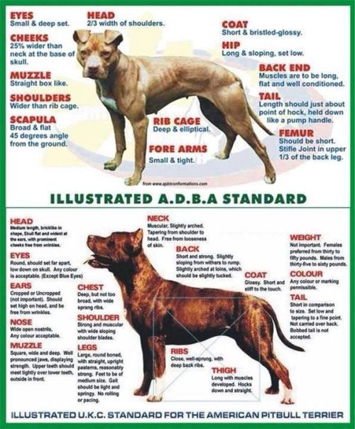 Photo Pitbulls Dog Breeds Canine Pet Dogs Pitbull Puppy