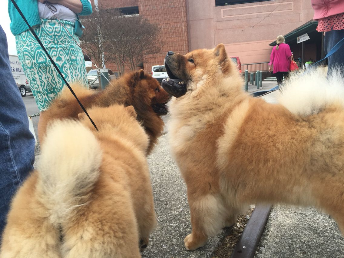 Chow Chow Nationals Chattanooga Tn