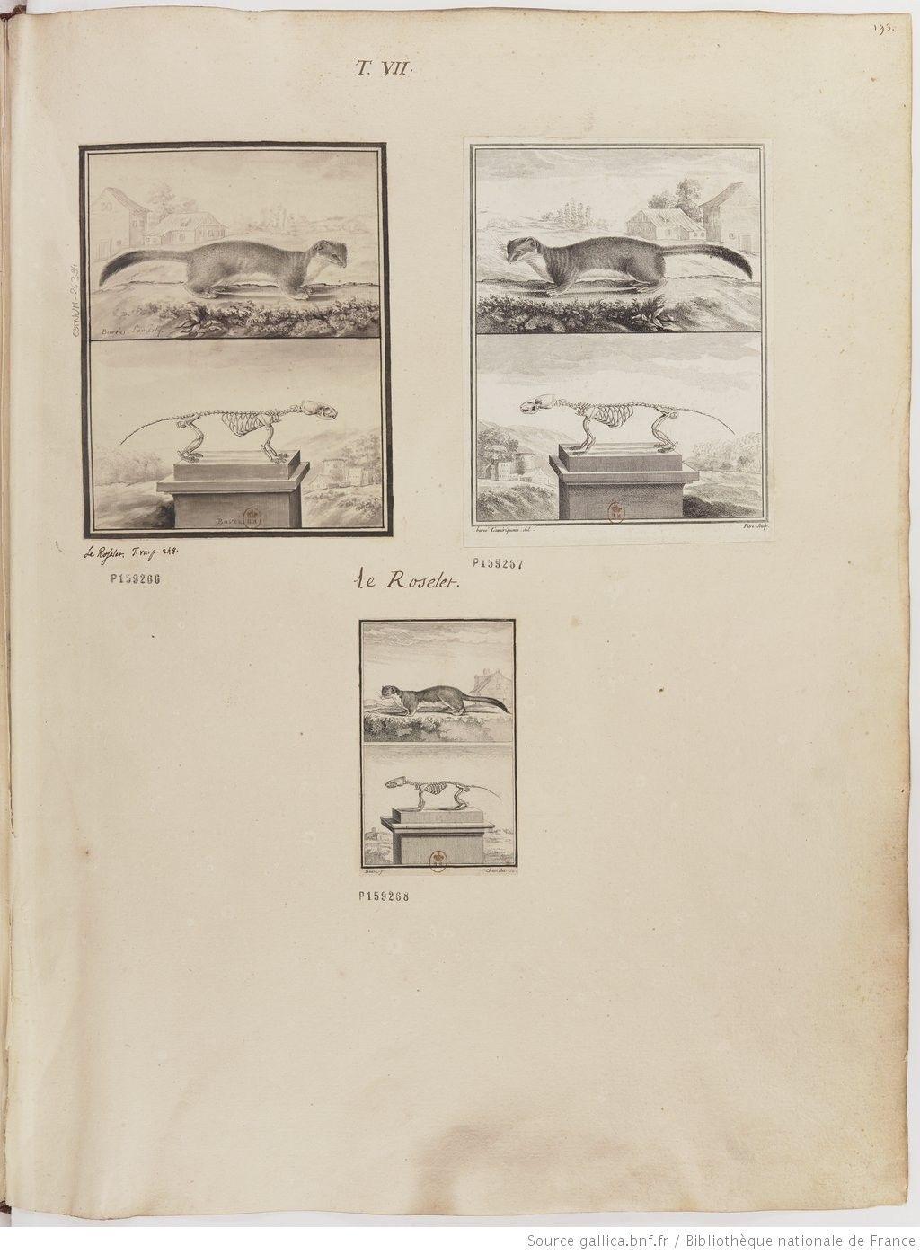 Roselet, Figures pour l'histoire des quadrupèdes, par M. de Buffon.. Tome II / Déssins [sic] originaux par DeSeve et Buvée, avec les Gravures des Editions in12 et in4° vol. 5 à 7.   1755-1758