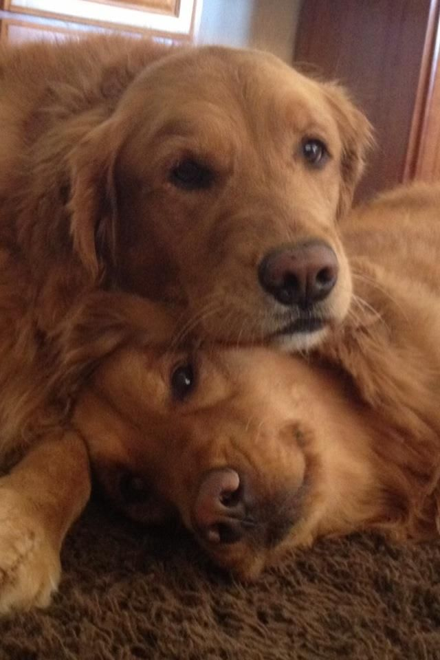 Golden Love This makes me want two Goldens! Dogs