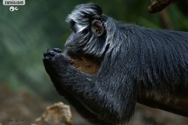 macaco orando - Pesquisa Google