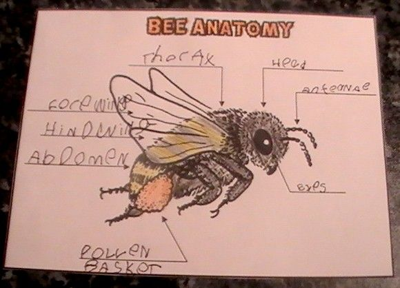 My saves homeschooling pinterest teacher one of the largest and most detailed projects i have ever worked on with my kids and i also learned so much along the way mashaallah the honey bee is ccuart Images