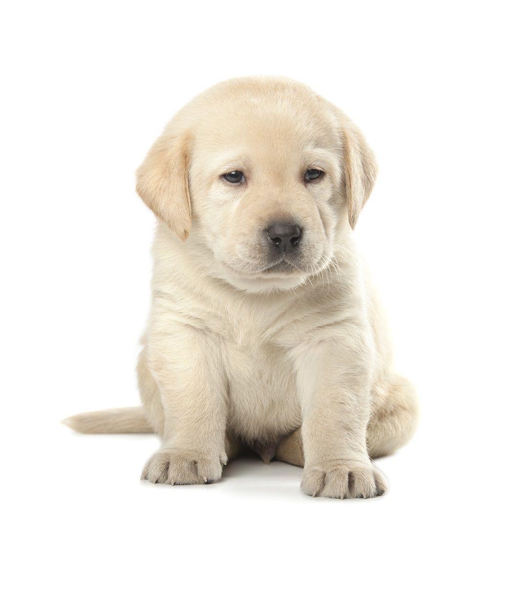 Labrador Welpen bereichern die FamilieLabrador Welpen