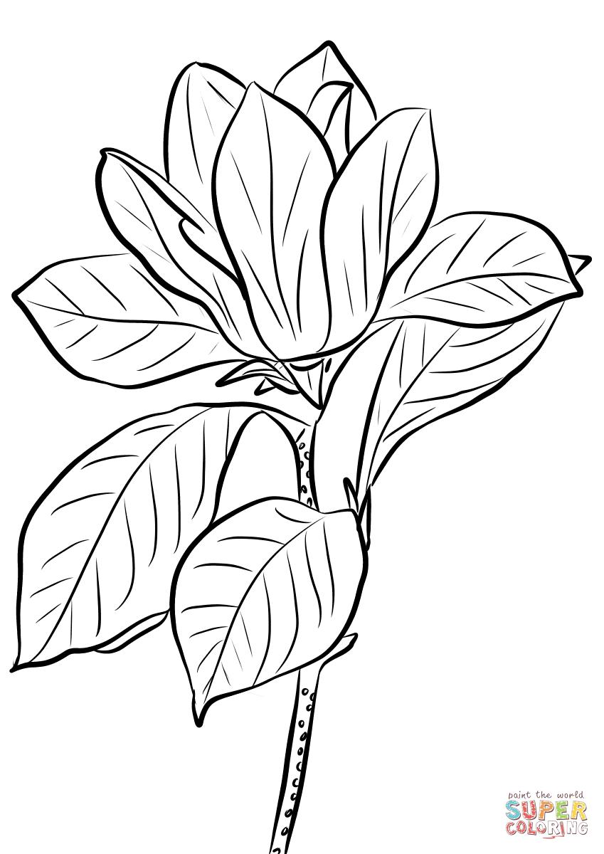 Purple Magnolia Dibujo para colorear. Categorías: Magnolias. Páginas ...
